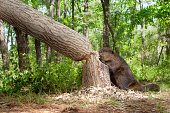 Beaver, in the Forest Cutting Down a Large Oak Tree