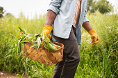 Working on an organic farm. A man holding a basket of fresh corn on the cob,produce freshly picked.