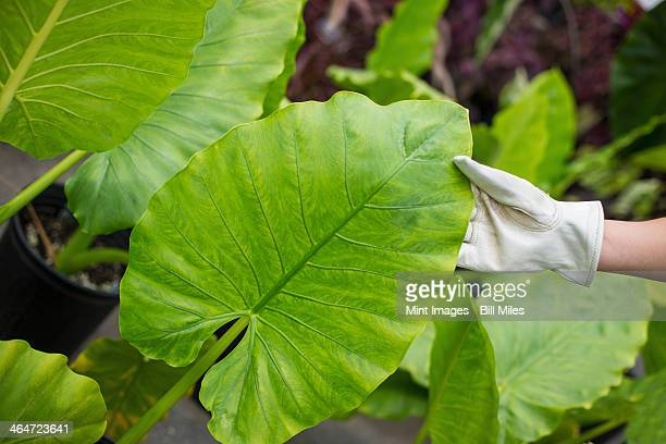 Working on an organic farm. A woman wearing gloves examining the leaves of a tropical plant.