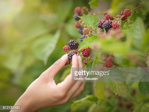 Working picking blackberries on fruit farm, close up