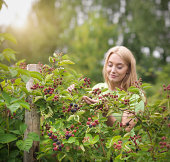 Working picking blackberries on fruit farm