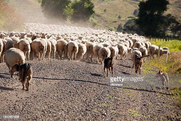 Working Sheep Dogs Herding in New Zealand