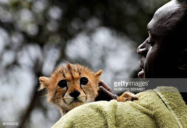 World and Olympic sprint champion Usain Bolt holds a cheetah cub at the headquarters of the Kenyan Wildlife Service in Nairobi on November 2 2009 The...