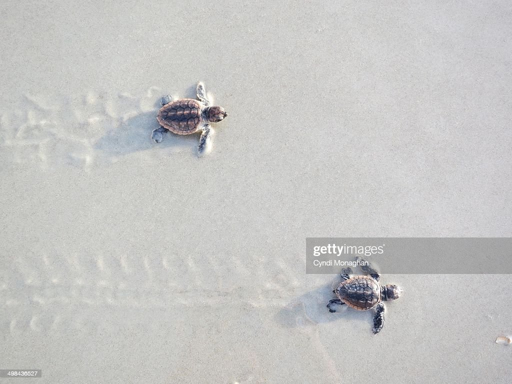 two baby sea turtles leaving trails in the sand