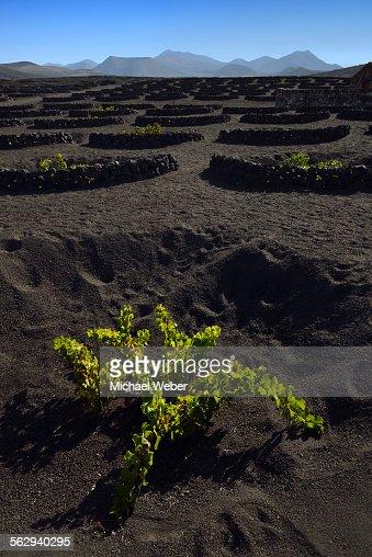 Worldwide unique cultivation method, dry cultivation, enarenado method, on volcanic ash, lava, wine growing region of La Geria, Los Ajaches mountains at the back, Lanzarote, Canary Islands, Spain