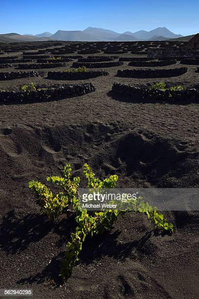 Worldwide unique cultivation method, dry cultivation, enarenado method, on volcanic ash, lava, wine growing region of La Geria, Los Ajaches mountains at the back, Lanzarote, Canary Islands, Spain