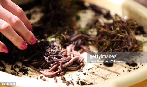 Worms are counted at the 34th World Worm Charming Championship in Willaston Cheshire PRESS ASSOCIATION Photo Picture date Saturday June 22 2013 Photo...