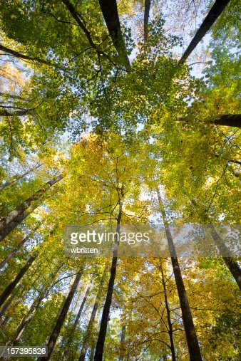 Worm's-eye view of tall tree's in a forest in autumn