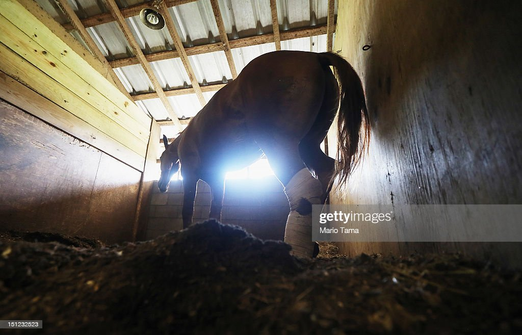 A wounded horse, named Mooch, recovers at Poydras Arena after being rescued from being stuck in the mud from Hurricane Isaac flooding in Plaquemines Parish on September 4, 2012 in Poydras, Louisiana. Members of the Louisiana State University agricultural and veterinary staff and local volunteers are rescuing stranded horses in Plaquemines Parish.