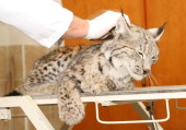 A wounded lynx on the list of endangered animals in Turkey was found in Yuksekova district of Hakkari and was sent to the Wildlife Protection...