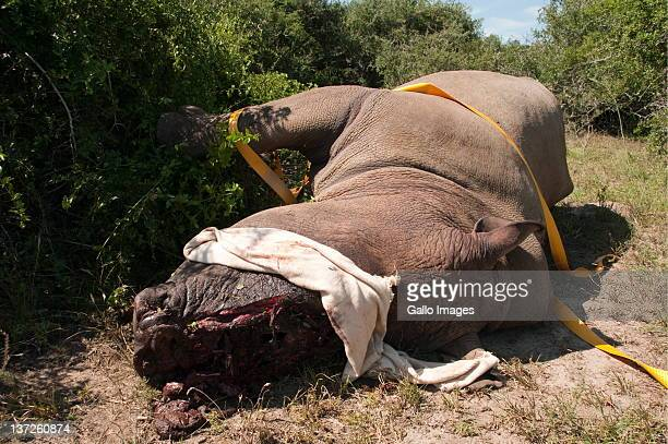 A wounded rhino discovered by game rangers at a game reserve near to KentononSea Eastern Cape South Africa on 11 February 2011 The rhino was most...