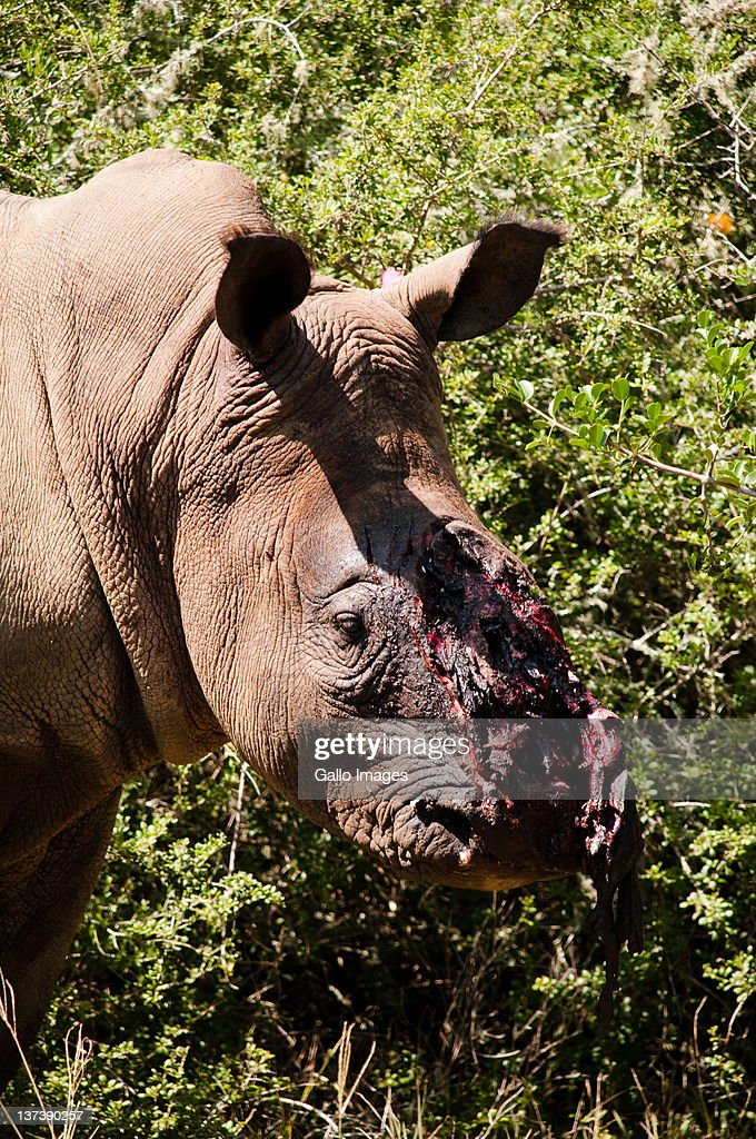 A wounded rhino was discovered by game rangers at a game reserve near to Kenton-on-Sea, on 11 February 2011 at the Eastern Cape, South Africa . The rhino was most likely darted and his horn hacked off by poachers in the early morning.