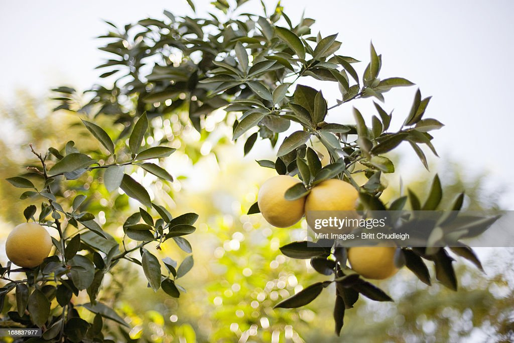 A woven arch or espalier of tree fruits. Yellow lemons on the branch. Organic citrus fruits.
