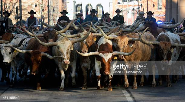 Wranglers keep the popular and iconic Longhorn cattle from Searle Ranch corralled in a group as the stock show parade makes it's way up 17th ave in...