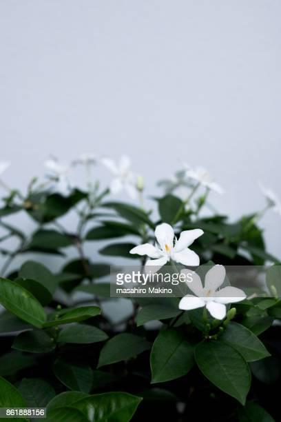 Wrightia Flowers