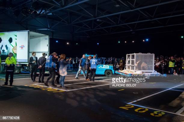 Wu Wen one of the panda cubs is pictured as they are introduced to the public at Schiphol airport in Amsterdam on April 12 2017 after arriving from...