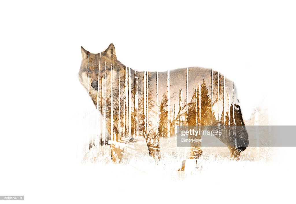 Wulf Double exposure : Stock Photo