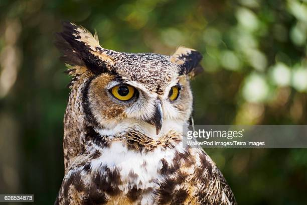 USA, Wyoming, Portrait of Great horned owl (Bubo virginianus)
