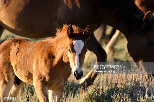 Wyoming Wild  Colt Portrait at Sunset