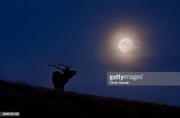 USA, Wyoming, Yellowstone National Park, Caribou bull on hillside against night sky with full moon