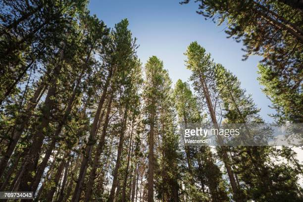 USA, Wyoming, Yellowstone National Park, forest