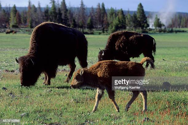 USA Wyoming Yellowstone National Park Fountain Flats Bison Herd Grazing Calf