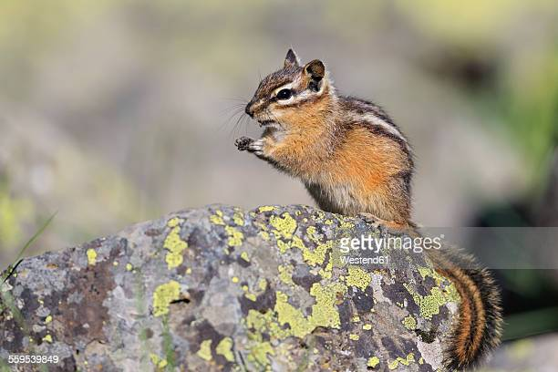 USA, Wyoming, Yellowstone Nationalpark, eating chipmunk