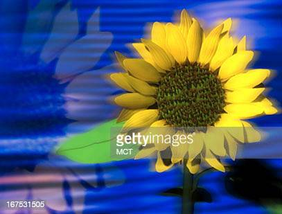 x 15' Sunflower image