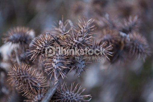 Xanthium Strumarium Or Rough Cocklebur Dry Thorn Closeup