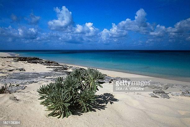 Xerophytic plants on the beach Long Bay western coast of San Salvador Bahamas