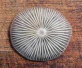 xerula radicata mushroom gills on wood, rooting shank