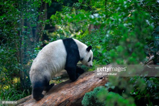 Xin Xin one of the two giant pandas born in captivity in Mexico is seen at the Chapultepec zoo in Mexico City on July 19 2017 / AFP PHOTO / PEDRO...