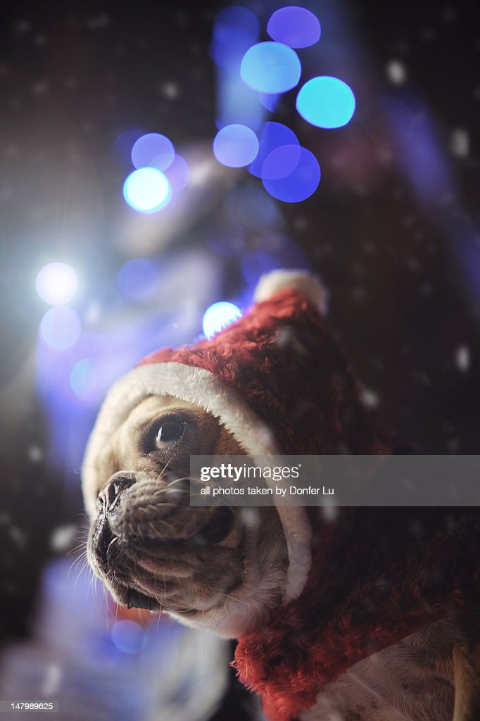 Xmas dog : Stock Photo