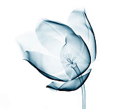 x-ray image of a flower  isolated on white , the tulip 3d illustration