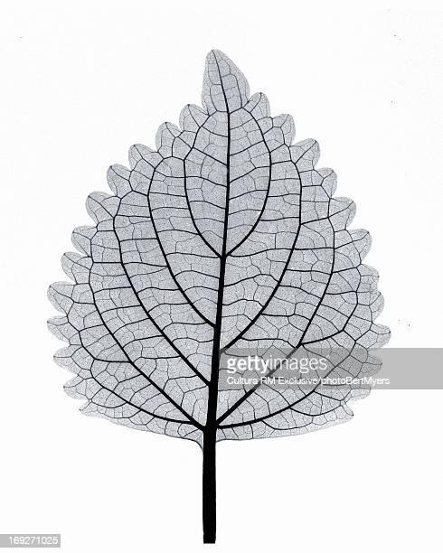 X-ray image of coleus leaf