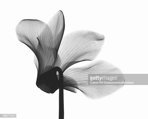 X-ray image of cyclamen flower