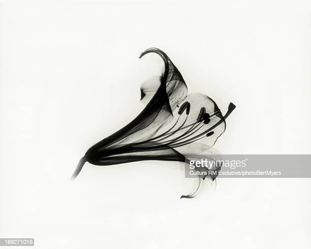 X-ray image of Easter lily