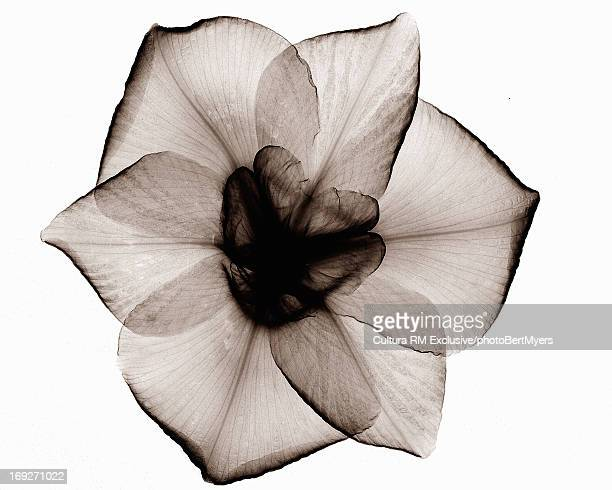 X-ray image of Japanese iris flower