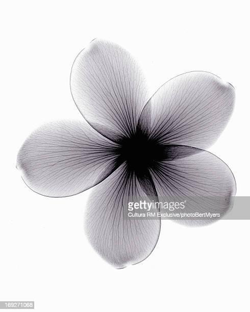 X-ray image of plumeria flower