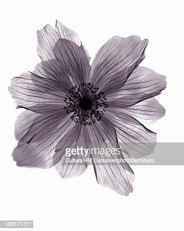 X-ray image of ranunculus flower : Stock Photo