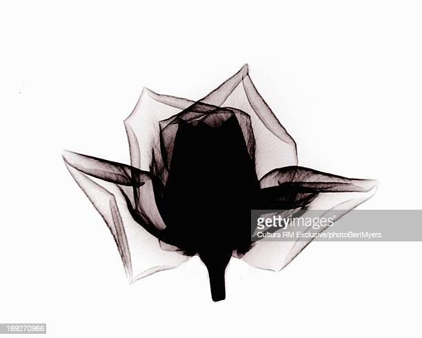 X-ray image of rose flower