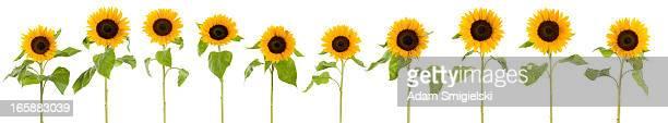 XXXL Reihe von Sonnenblumen