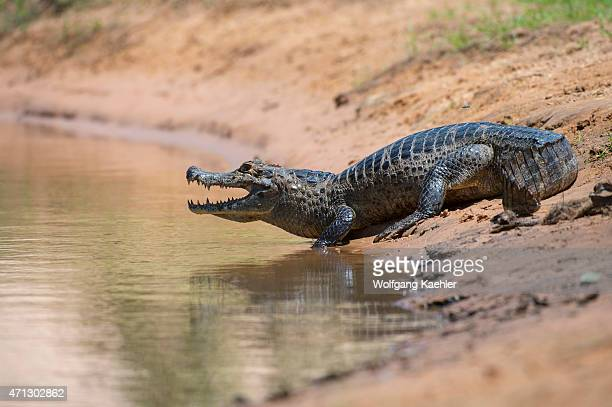 Yacare caiman at a tributary of the Cuiaba River near Porto Jofre in the northern Pantanal Mato Grosso province in Brazil