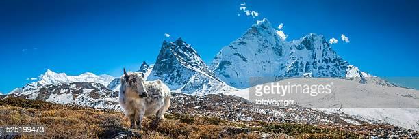 Cucciolo di Yak al pascolo in Himalaya alta quota pascolo mountain peaks