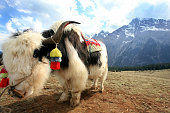 A yak in a valley on May 3 2007 near Lijiang Yunnan province China