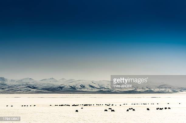Yak on snowy moutains