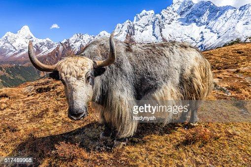 Yak on the trail, Mount Ama Dablam on background, Nepal