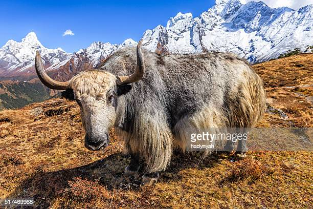 Yak on the trail, Mount Ama Dablam on background, Nepal
