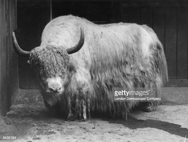 A yak standing in a stream of its own urine at London Zoo Regent's Park circa 1900