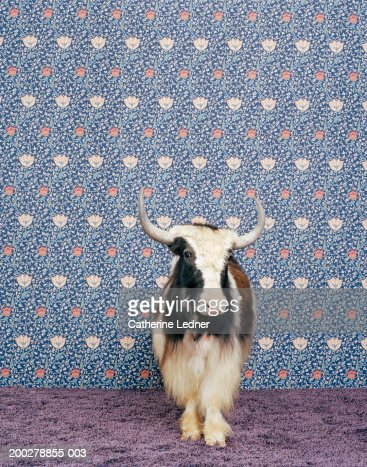 Yak (Bos grunniens) standing in front of wallpaper